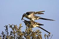 Great Spotted Cuckoo, , Clamator glandarius, Coccystes glandarius,