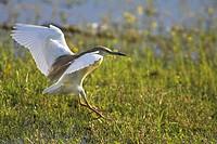 Squacco Heron, , Ardeola ralloides,