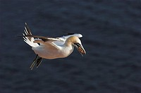 Northern gannet, Morus bassanus, Sula bassana