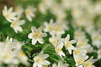 Wood anemone, Windflower, European thimbleweed, Smell fox, Anemone nemorosa