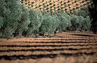 Spain, Olive orchards on the plateau of Castilla