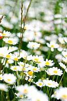Daisies growing in field, close-up