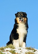 Australian Shepherd _ sitting on meadow
