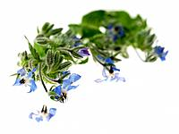 Borage herbs (thumbnail)