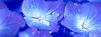Blue Hydrangia flowers with dew (thumbnail)