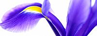 One purple Iris flower (thumbnail)