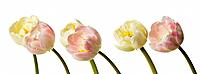 Tulips (thumbnail)
