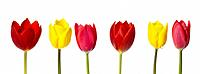 Panoramic Colours, Coloured Tulips