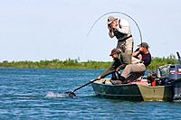 Fly_fisherman fights Chinook salmon from boat while one fisherman photographs & other nets fish Kanektok River Alaska