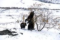 Grizzly Sow w/Cub Scratches Back on Willow Denali NP AK IN Stony Hill Late Fall