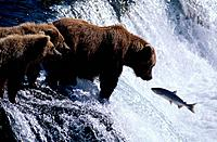 Brown Bears fishing Brooks Falls Katmai Natl Park SW AK summer scenic