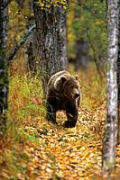 Grizzly walking in woods Katmai Natl Park SW AK fall scenic