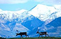 Caribou walk along Ridge Denali NP Interior AK Summer /nAlaska Range