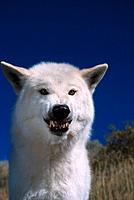 Portrait of a Captive White Wolf Snarling