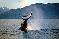 Humpback Whale Tail Sunset Frederick Sound Southeast Alaska Summer
