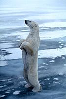 Polar Bear Standing up Churchill Manitoba Canada