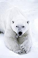 Polar Bear Cape Churchill Hudson Bay Winter Manitoba Canada