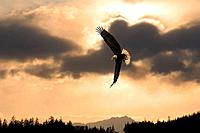 Bald Eagle in flight near sunset Tongass National Forest Southeast Alaska Composite