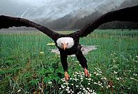 Bald Eagle Landing in Field Summer Digital Composite