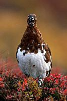 Portrait of Willow Ptarmigan Denali NP IN AK Autumn