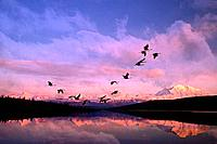 Sandhill cranes flying past Mt McKinley Sunset Alaska & Wonder Lake Summer Composite
