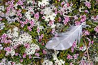 Ptarmigan feather laying in Alpine Azeleas & Tundra Lichens Interior Alaska Summer Alaska Range