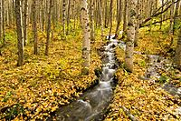 Small creek flows through autumn leaf covered forest floor Chugach State Park Eagle River Valley Alaska Southcentral