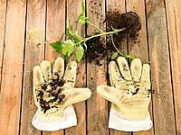 Pair of gardening gloves with compost and a plant