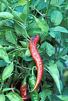 Pepper Growing on a Bush