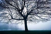 Tree in the Fog, Front View, Pan Focus (thumbnail)