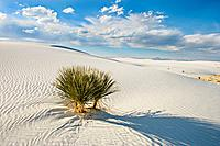 Yucca plant in sunshine at White Sands National Monument, New Mexico, USA