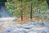 Frosted grasses and small pine tree in sunshine
