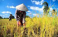 Woman harvesting rice, Angkor, Siem reap, Cambodia