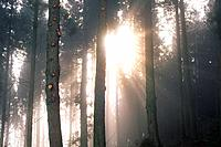 Trees in the Woods and Sunshine, Front View, Lens Flare