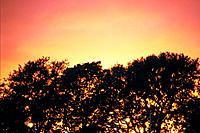 Trees and Sunset, Low Angle View, Pan Focus