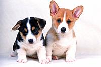 Two Different_colored Welsh Corgi, Looking at Camera, Front View
