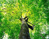 Big Tree, Low Angle View, Pan Focus