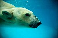 Polar Bear diving underwater