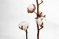 Cotton boll stem Gossypium close_up
