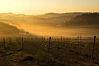 Italy, Tuscany, Vineyard, Morning mist