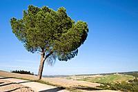Italy, Tuscany, Pine tree