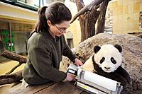Scientist weighing Fu Long, the baby Giant panda in Zoo Schonbrunn, Austria, 2008 (Ailuropoda melanoleuca)