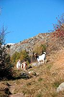 Switzerland, Europe, Canton Valais, Bellwald, goats, animals, hiking trail, hiker, alps, alpine, mountain, mountains,