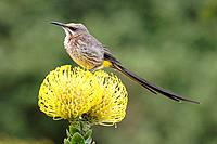 Cape Sugar Bird on a yellow Protea flower at Kirstenbosch Garden, South Africa