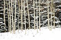 Aspen boles contrast against snow flocked evergreens after a fall snowstorm near Geyser Pass in the La Sal Mountains outside Moab, Utah, USA