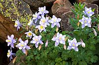 Colorado blue columbines aqualegia coerulea survive in a mass of lichen covered boulders in Yankee Boy Basin, San Juan mountains, Colorado, USA