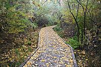A leaf covered boardwalk meanders through the Scott Matheson Wetlands Preserve on an autumn afternoon in Moab, Utah, USA