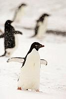 Adelie Penguin Pygoscelis adeliae marching in the snow during a storm, Brown Bluff, Antarctica