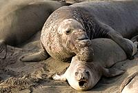 Elephant Seals mating on Piedras Blancas Beach in San Simeon