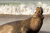 Male Elephant Seal protecting his harem on Piedras Blancas Beach in San Simeon